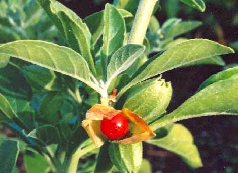 Picture of Ashwagandha