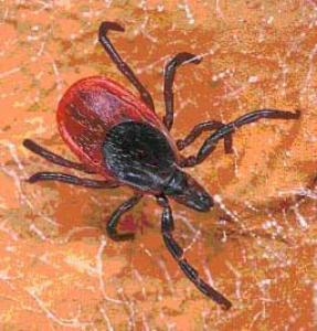 Picture of Babesiosis