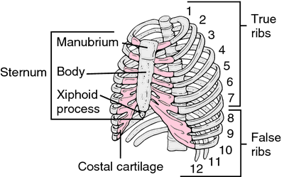 picture about xiphoid process
