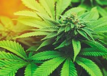 Cannabinoid Hyperemesis Syndromepictures