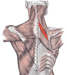 Rhomboid minor muscle