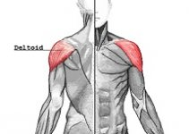 picture of deltoid muscle
