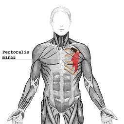 picture of pectoral muscles