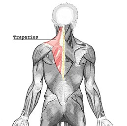 picture of trapezius muscle